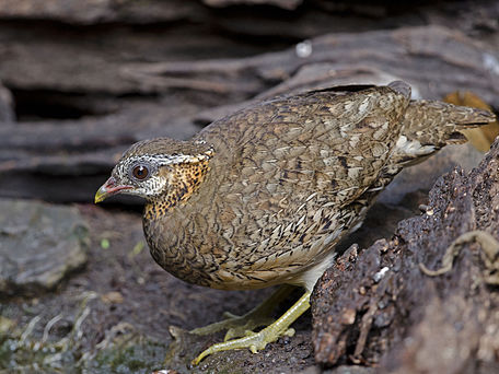 Scaly-Breasted Partridge. Scaly-breasted Partridge.jpg