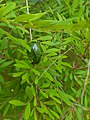 Scarab Beetle(Heterorrhina elegans) at it's elegance.jpg