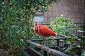 Scarlet Ibis (31791546070).jpg