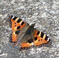 Schmetterling zur Bestimmung 2017.jpg