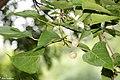 Scientific Name Mallotus nudiflorus Family Euphorbiaceae Common Name False White Teak. (38213081872).jpg