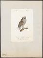 Scops zorca - 1842-1848 - Print - Iconographia Zoologica - Special Collections University of Amsterdam - UBA01 IZ18400123.tif