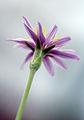 Scorzonera papposa - Oriental Viper's Grass.jpg