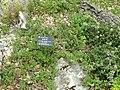 Scutellaria amoena var. amoena - Kunming Botanical Garden - DSC02995.JPG