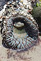 Sea anemone (28300926467).jpg