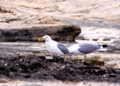 Seagulls with Food.png