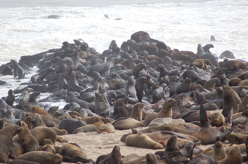 file seals at cape cross namibia 3045741239 jpg wikimedia commons. Black Bedroom Furniture Sets. Home Design Ideas