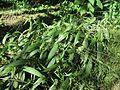 Setaria palmifolia habit3 (7411097092).jpg