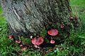Several Fistulina hepatica (GB= Beefsteak polypore fungus or Ox Tongue, D= Leberreischling, auch Leberpilz oder Ochsenzunge, F= Langue de bœuf, NL= Biefstukzwam) at the foot of a giant dead Oak at Wolfheze. See next pi - panoramio.jpg