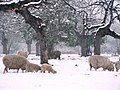Sheep in Maceys Meadow - geograph.org.uk - 784139.jpg