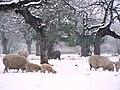Sheep in Maceys Meadow - geograph.org.uk - 784139.jpg
