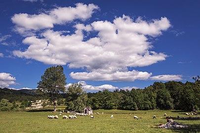 Sheeps at Velebit.jpg