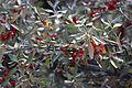 Shepherdia canadensis 03.JPG