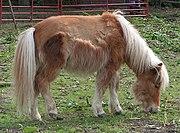 Shetland pony moult1