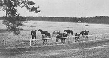 Черно-белая фотография тринадцати лошадей за забором на Императорской животноводческой ферме Горю.