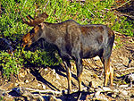 Shiras Bull at Cecret Lake a 07-25-12.JPG