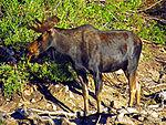 Shiras Bull en Cecret Lago 07-25-12.JPG