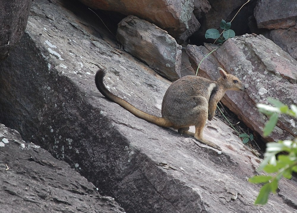 The average litter size of a Short-eared rock-wallaby is 1