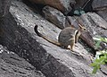 Short-eared rock wallaby in Kakadu.jpg