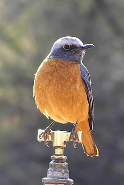 Short-toed-rock-thrush-003.jpg