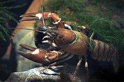 Signal crayfish female Pacifastacus leniusculus