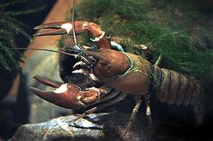 Signal crayfish - Image: Signal crayfish female Pacifastacus leniusculus