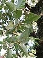 Silver leaf rainforest tree.jpg