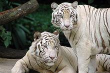 Variante branca do tigre-de-bengala