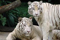Fehér tigrisek a szingapúri állatkertben