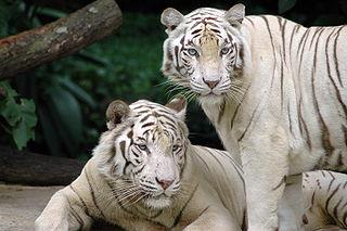 Tigre et médecine asiatique dans TIGRE 320px-Singapore_Zoo_Tigers