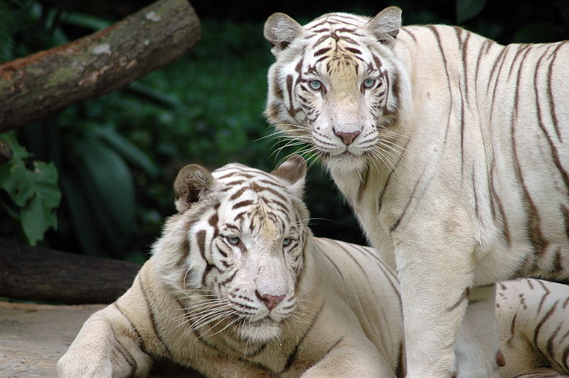 File:Singapore Zoo Tigers.jpg