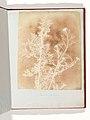Sisymbrium Cumingianum MET DP202193.jpg