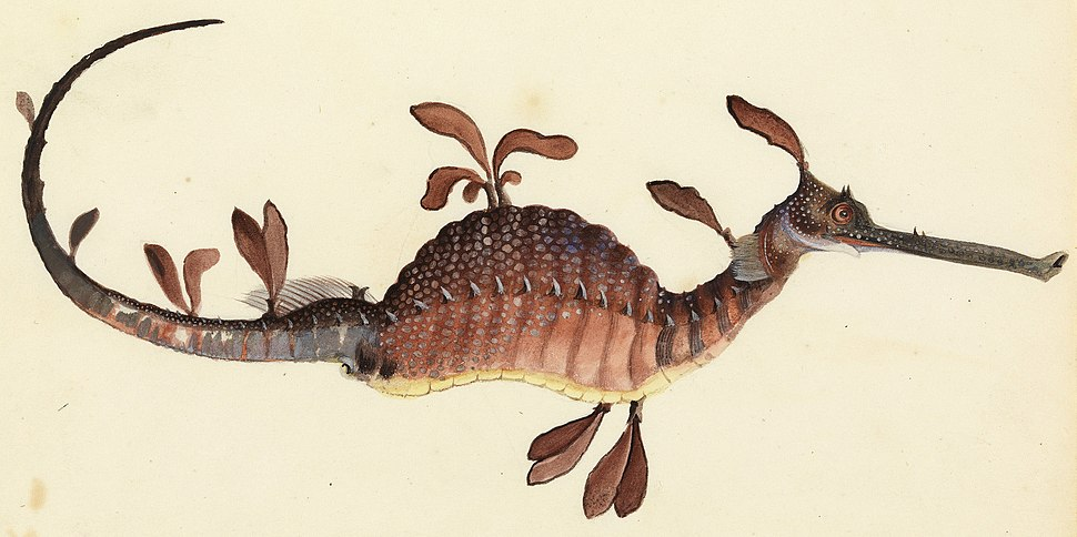 Sketchbook of fishes - 11. Leafy sea dragon - William Buelow Gould, c1832 (cropped)