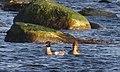 Småskrake Red-breasted Merganser (13041558154).jpg