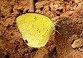 Small Grass Yellow Eurema brigitta by Dr. Raju Kasambe DSCN0775 (10).jpg