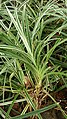 Small Screwpine (Pandanus pygmaeus) 4.jpg