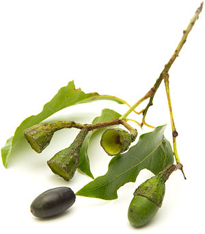 Ocotea foetens - Small branch of Ocotea foetens (Tilo, Stinkwood)