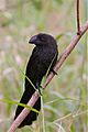 Smooth-billed Ani (6988808911).jpg