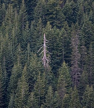 Snag (ecology) - A fir tree snag among living fir trees