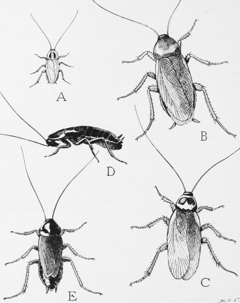 File:Snodgrass common household roaches.png Captions English The four species of common household roaches Caption The four species of common household roaches  A, the German roach, or Croton bug, Blattella germanica (length 9/16 inch). B, the American cockroach, Periplaneta americana (length 1 3/8 inches). C, the Australian cockroach, Periplaneta australasiae (length 1 1/4 inches). D, the wingless female of the Oriental roach, Blatta orientalis (length 1 1/8 inches). E, the winged male of the Oriental roach (length 1 inch)