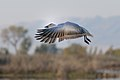 Snow goose takeoff (6337872457).jpg