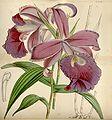 Sobralia macrantha - Curtis' 75 (Ser. 3 no. 5) pl. 4446 (1849).jpg