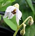 Solanum nelsonii (5188555844).jpg