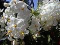 Solanum weiß - panoramio.jpg