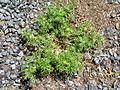 Soliva sessilis plant1 (15568047104).jpg