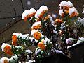 Sommeraster mit Schneehäubchen 2012.JPG
