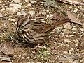 Song Sparrow 0020.jpg