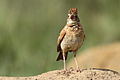 Song and dance routine of the Rufous-naped Lark, Mirafra africana at Rietvlei Nature Reserve, Gauteng, South Africa (16044794355).jpg