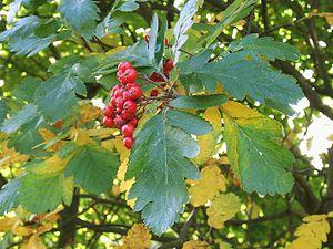 Sorbus × hybrida - Foliage and fruit