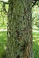 Sorbus torminalis kz04.jpg